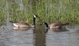 Geese Pair Dipping