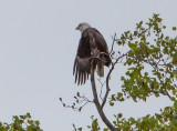 Eagle by Van H. White IMG_4722.jpg