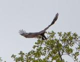 Eagle by Van H. White IMG_4723.jpg