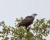 Eagle by Van H. White IMG_4726.jpg