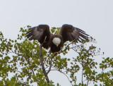 Eagle by Van H. White IMG_4728.jpg