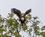 Eagle by Van H. White IMG_4729.jpg