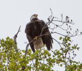 Eagle by Van H. White IMG_4745.jpg