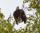 Eagle by Van H. White IMG_4751.jpg