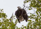 Eagle by Van H. White IMG_4753.jpg