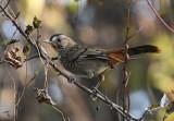 Rufous-chinned laughingthrush