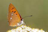 Czerwonczyk dukacik (Lycaena virgaureae)