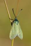 Lśniak szmaragdek (Adscita statices)