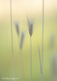 Grasses and Awns