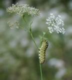 :: Koninginnenpage / Common Yellow Swallowtail ::