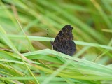 :: Dagpauwoog / Peacock Butterfly ::