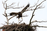 Eagles, Hawks, Osprey, Falcons and Vultures
