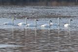 Swan Soiree