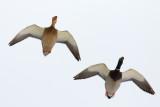 Mallards Overhead
