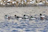 Snow Ducks