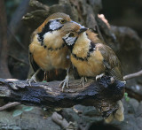 Greater Necklaced Laughingthrushes