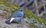 Plumbeious Redstart