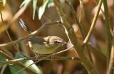 Abberrant Bush Warbler