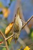 2 barred Greenish Warbler