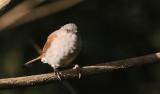 Northern Grey-headed Sparrow