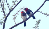 Brown-breasted Barbets