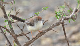 Red-fronted Warbler (Prinia)