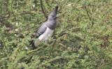 White-bellied Go Away bird
