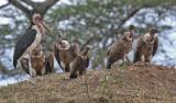 Marabou Stork, White-backed Vultures, Hooded Vulture juvenile