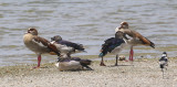 Knobbed Duck with Egyptian Goose