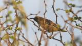 Hunter's Sunbird, fem