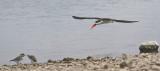 African Skimmer