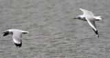 Grey-hooded Gull