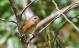 Cinnamon Bracken Warbler