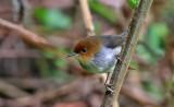 African Tailorbird
