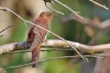 Lesser Cuckoo, hepatic form