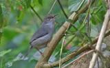 Long-billed Tailorbird