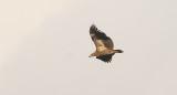 Palm-nut Vulture, immature