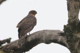 Black (Great) Sparrowhawk