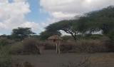 Masaai hamlet