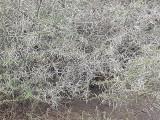 acacia bush