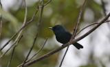 Biak Black Flycatcher