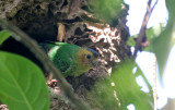 Buff-faced Pygmy Parrot