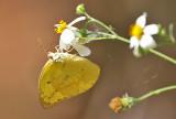 Lemon Emigrant, female  (Catopsilia pomona) Form pomona.