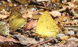 Lemon Emigrant (Catopsilia pomona)