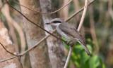 Large Wood-Shrike
