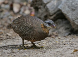Green-leged Partridge, (scaly-breasted)