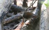 White-chested Babbler