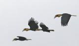 Plain-pouched Hornbill