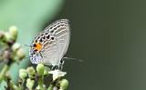 Burmese Cerulean (Jamides philatus)