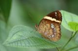 Double-banded Nymph (The Pan)(Xanthotaenia busiris)